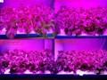 植物工厂发展及LED照明灯光不同因素对植物生长的影响分析