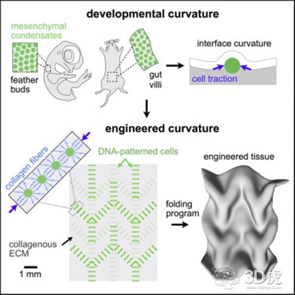 生物工程师使用3D打印技术打印复杂折叠形状的活组织