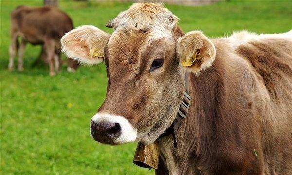 美国农民使用人工智能来监测奶牛的活动情况