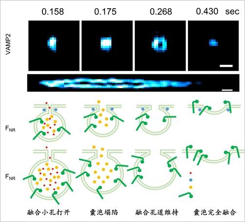 陈良怡团队发明超灵敏海森结构光超高分辨率显微镜